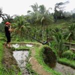 son vert, sur les terrasse de riz à bali